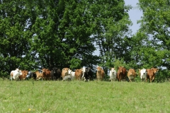 krowy1
