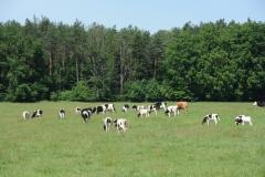 krowy2