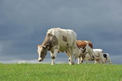 krowy3